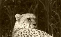 Gepard by maja-310