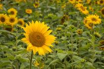 Sonnenblumen von Simone Rein