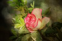 Zarte Rose by Claudia Evans