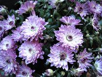 lila Mini-Chrysantheme von assy