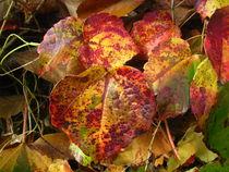 goldbraune Weinblätter im Herbst  by assy
