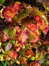 goldener Oktober, der wilde Wein hat goldbraune Blätter von assy