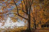 Uferweg mit alten Bäumen auf der Halbinsel Mettnau - Bodensee von Christine Horn
