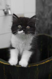 Britisch Langhaar Kitten / 14 by Heidi Bollich