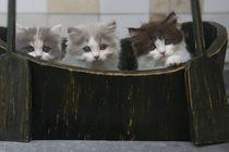 Britisch Langhaar Kittens / 1 von Heidi Bollich