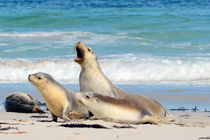 Sea Lions on Seal Bay, Kangaroo Island. by Andrew Michael