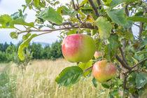 Apfel von Mathias Karner