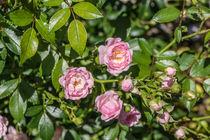 Rosen von Mathias Karner