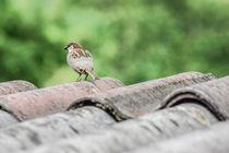 Spatzen Vogel von Mathias Karner