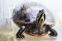 Gelbwangenschildkröte by Mathias Karner