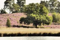 Heideblüte in den Maasdünen-6 by maja-310