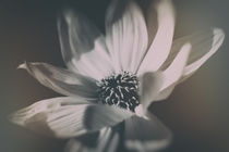 Engelmannia  by Bastian  Kienitz