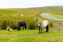 Wilde Ponies im Brecon Beacons National Park von gscheffbuch