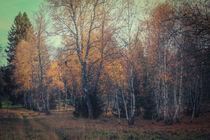 Birken im Irndorfer Hardt - Naturpark Obere Donau von Christine Horn