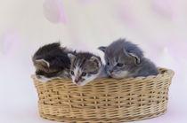 Katzenbabies von Heidi Bollich