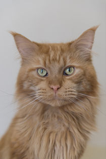 Maine Coon / 93 by Heidi Bollich
