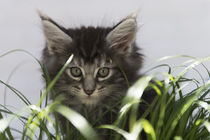 Maine Coon Kitten / 17 by Heidi Bollich