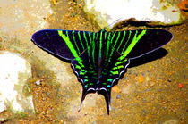 Moth of Colombia's tropical rainforest by Daniel Steeves