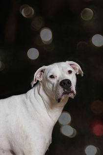 Dogo Argentino / 1 von Heidi Bollich