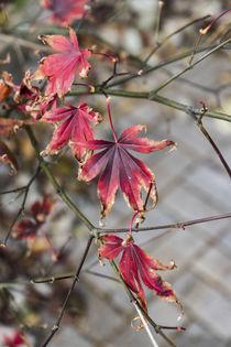 Ahorn im Herbst von Petra Dreiling-Schewe