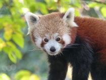 Kleiner Panda by maja-310