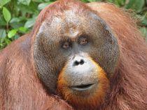 Orangutan Portrait  by Annika  Leichtweiss