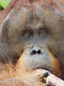 Orangutan and Sugar Cane von Annika  Leichtweiss
