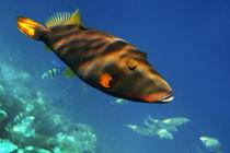 Gelbschwanz Druecker Fisch,  Balistapus undalatus , Biyadhoo Island Sued Male Atoll  Malediven  von travelstock44