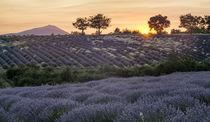 blühender Lavendel bei Banon, Vaucluse, Alpes-de-Haute-Provence,  von travelstock44
