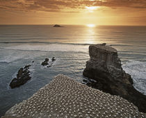 Muriwai Tölpelkolonie Neuseeland  by travelstock44