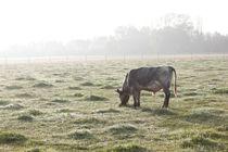 Grasende Kuh im Herbstnebel von heimatlandleben