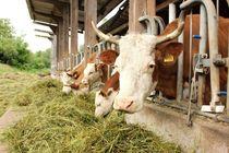 Hinterwälder Rinder fressen von heimatlandleben