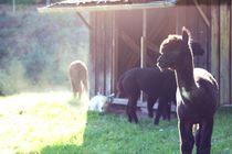 Schwarzes Alpaka im Alpakaparadies von heimatlandleben