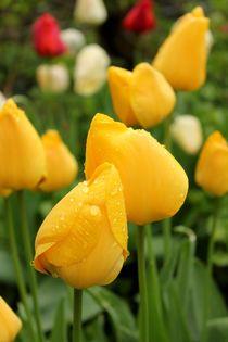 Tulpen im Garten by heimatlandleben