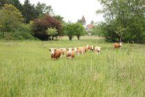 Neugierige Hinterwälder Rinder in Konstanz von heimatlandleben