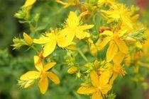Heilige Johanniskraut Blüten von heimatlandleben