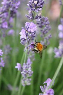 Wilde Hummel küsst Lavender von heimatlandleben