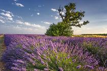 Lavendelfeld , Lavandula angustifolia, Valensole Hochebene , Frankreich  by travelstock44
