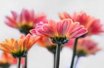 Herbstastern von Violetta Honkisz