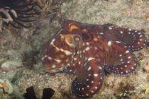 Oktopus im Tarnkleid by Harald Schottner