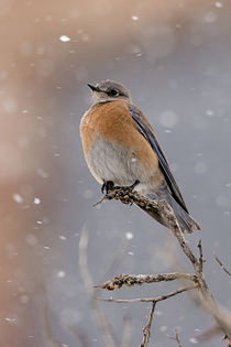 Western Bluebird in Winter von Jennifer Nelson
