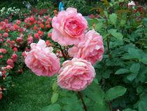 Pink Roses von Miriam Cintron