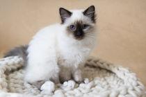 Heilige Birma Kitten / 3 von Heidi Bollich