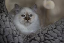 Heilige Birma Kitten / 4 von Heidi Bollich