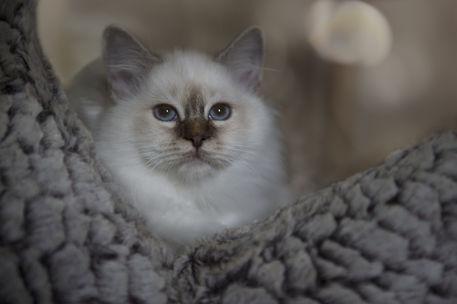 Dsc-2414-dot-birma-kitten4-09-17