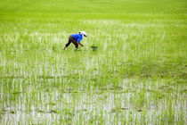 rice field by Ard Bodewes