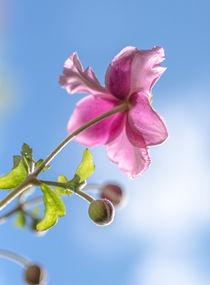 Blüten-Sonne von Stephan Gehrlein
