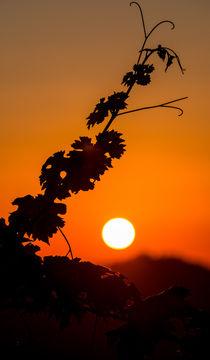 Sonnenuntergang in den Reben  von Stephan Gehrlein