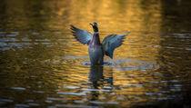 Herbst-Ente by Stephan Gehrlein