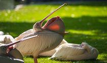 Pelikan by Stephan Gehrlein
